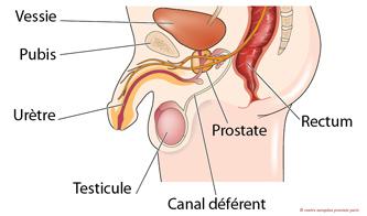 Schéma des organes génitaux masculins pour savoir comment avoir un orgasme prostatique.